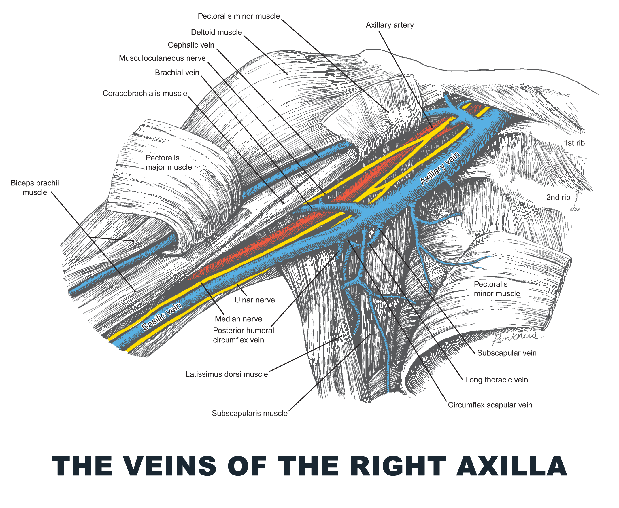 The Veins of the Right Axilla - #anatomy images illustrations ...