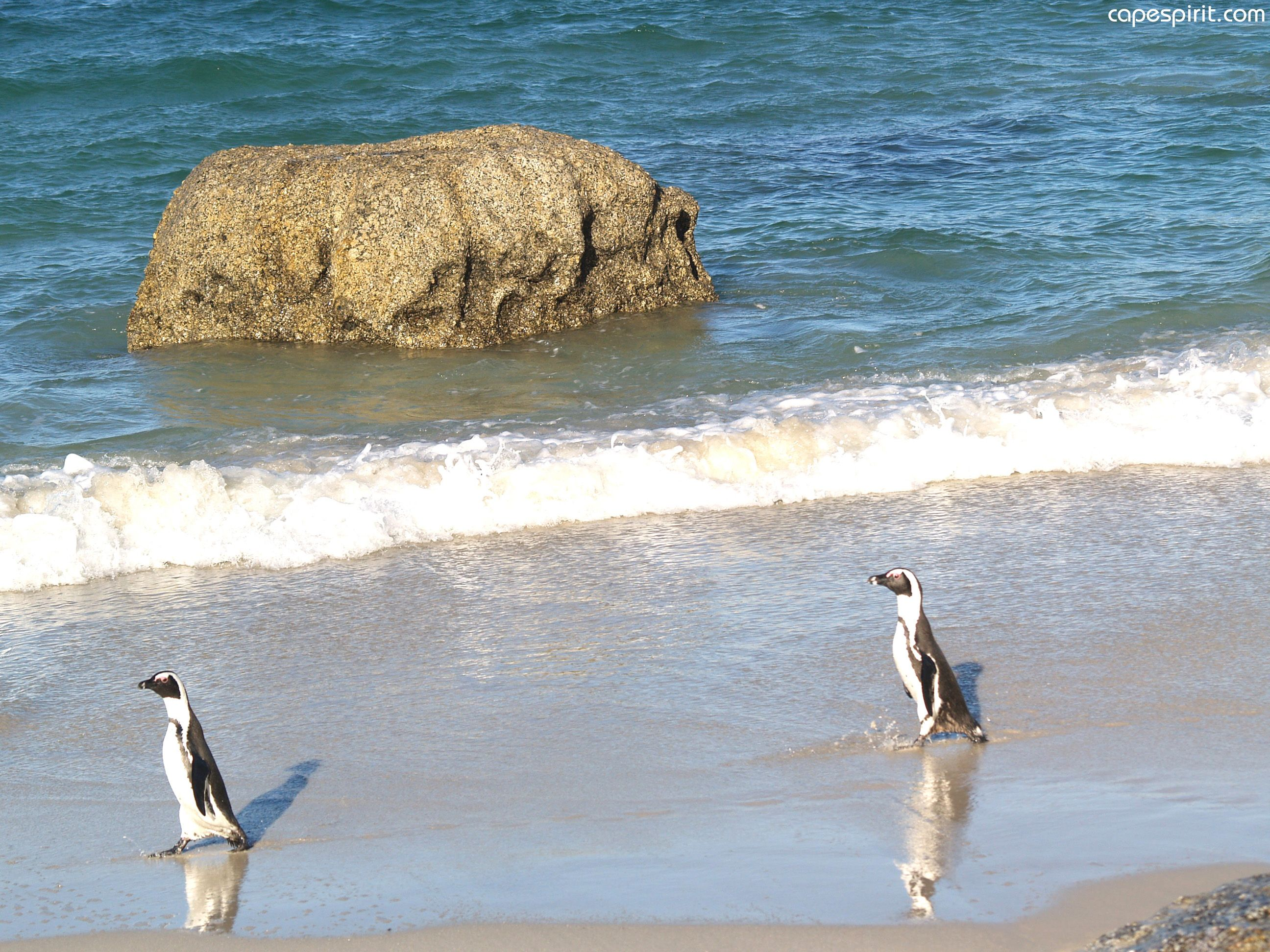 Boulders beach republic of south boulder beach penguins