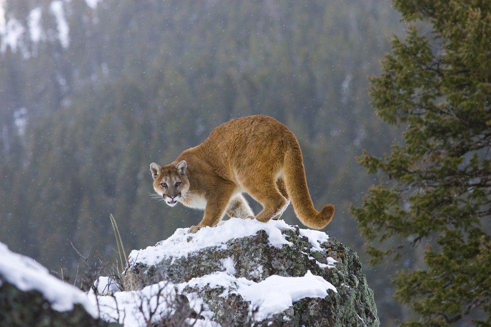 Innocent Mountain Lion Shot To Death Simply For Existing