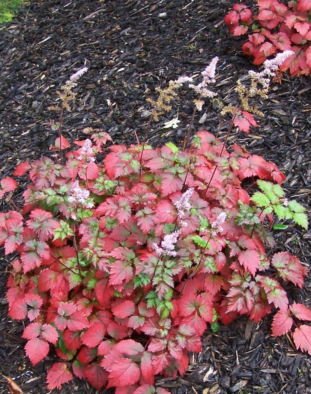 Color Flash® Astilbe - Monrovia - Foliage to 10 in. tall, 18 in ...