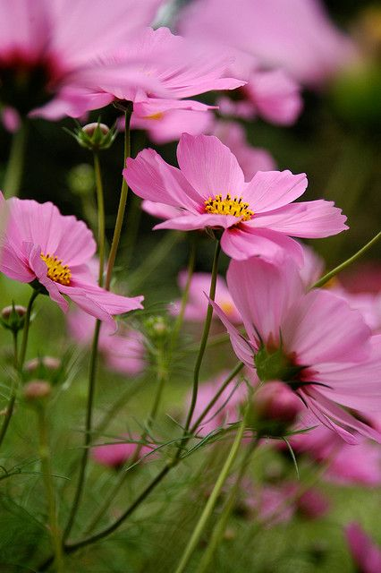Cosmos Blowing In The Wind Growing Flowers Beautiful Flowers Flower Field