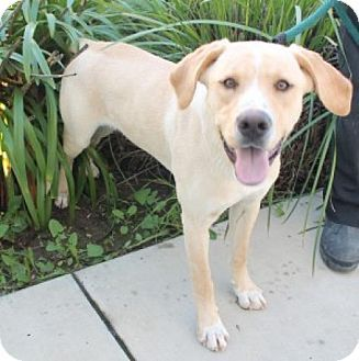Labrador Retriever Mix Dog For Adoption In West Vancouver British Columbia Oliver Labrador Retriever Mix Labrador Retriever Dogs