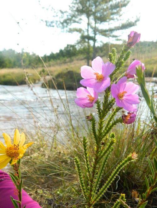 Flor Do Cerrado Flores Do Cerrado Natureza Jardinagem