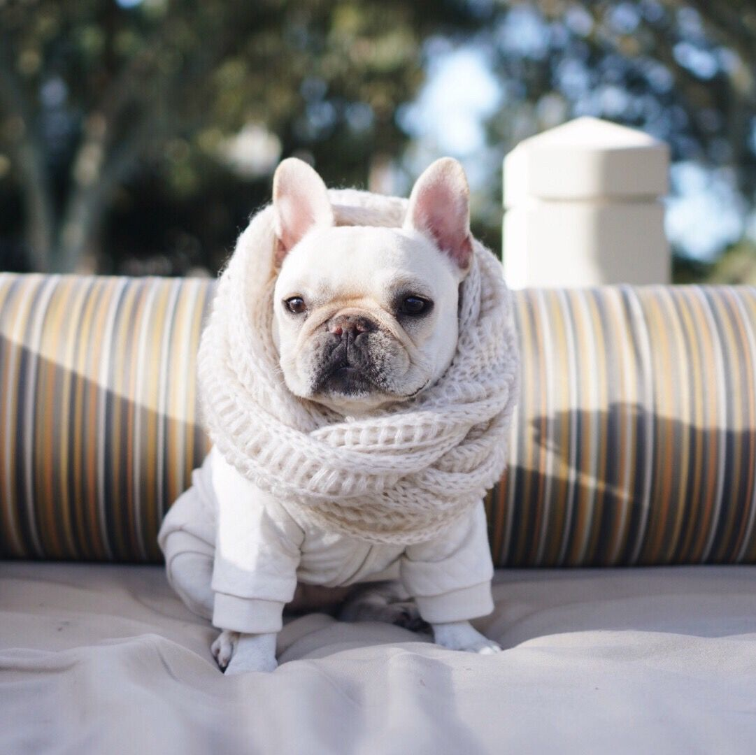 This French Bulldog is 'Winter Chic!', in a #pipolli scarf