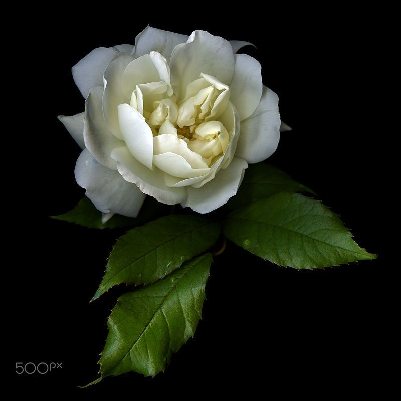 WHITE ROSE, A SYMBOL of PEACE by Magda Indigo on 500px