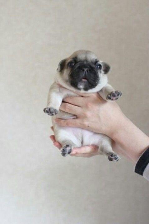 I Need A Pug Stat Baby Pugs Cute Animals Cute Baby Pugs
