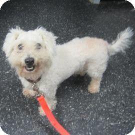 Menands Ny Bichon Frise Mix Meet Barnaby A Dog For Adoption Dog Adoption Pets Bichon Frise