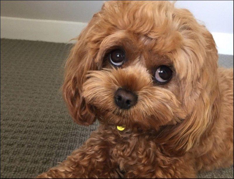 Jazz Cavoodle Cavoodle dog, Dog crossbreeds, Poodle