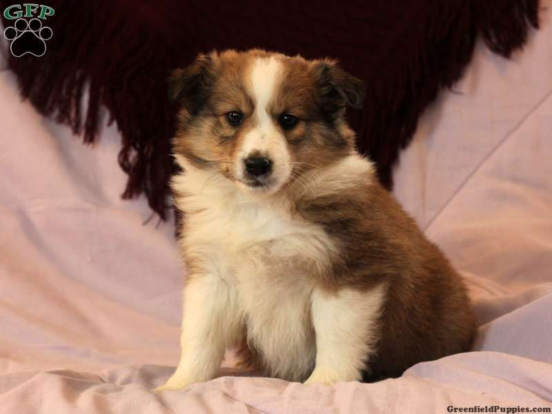 Seth Shetland Sheepdog Mix Puppy For Sale From Manheim Pa