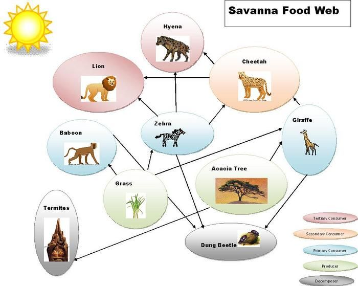 savanna animal food chain diagram vw bus wiring grassland biome web with trophic levels chains biomes