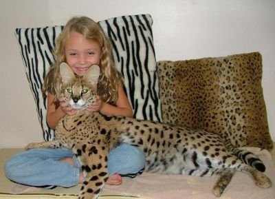 Savannah Cat Now On My Wish List Cool Pets Savannah Chat Savannah Cat