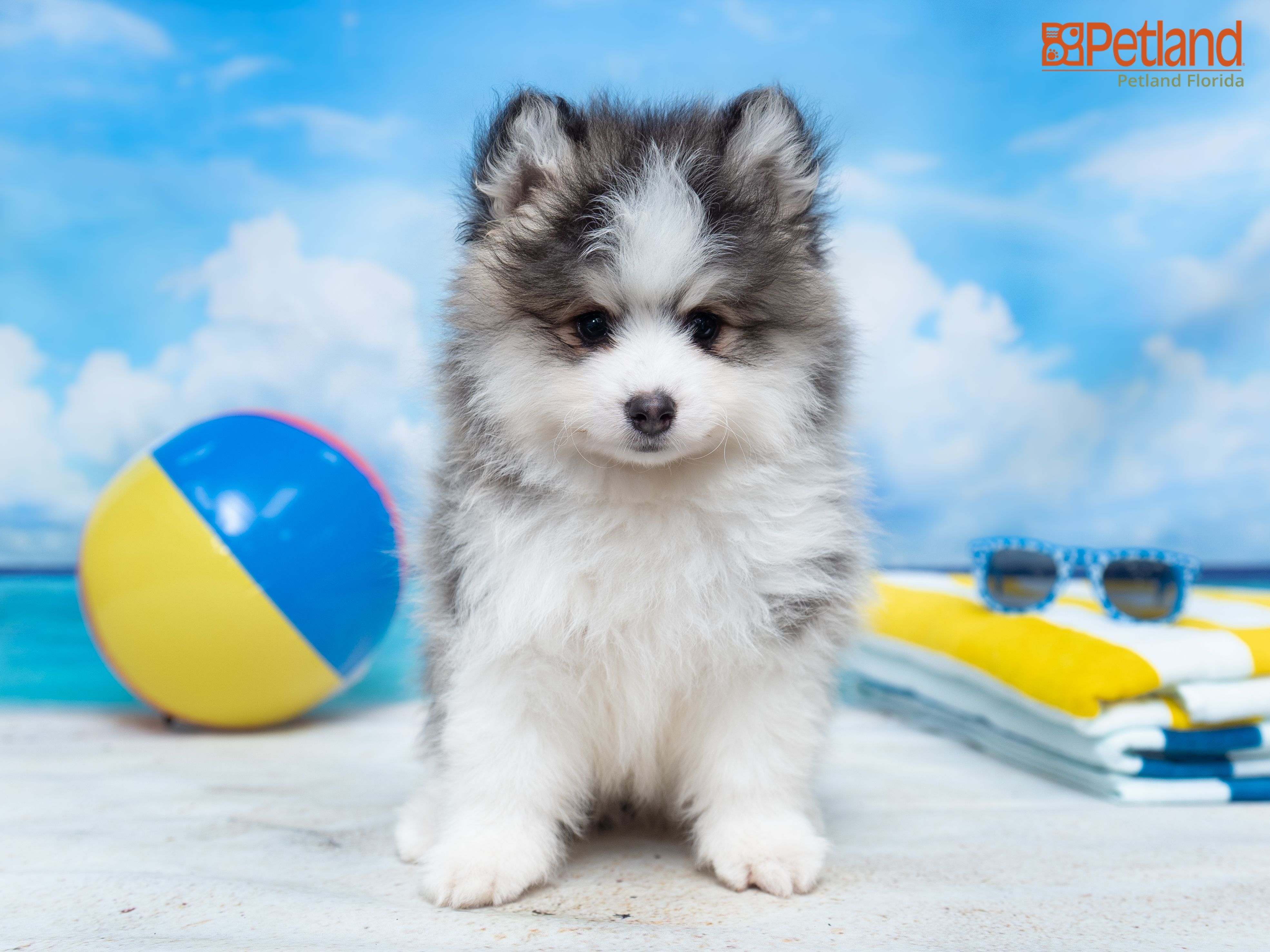 Petland Florida Has Pomsky Puppies For Sale Check Out All Our Available Puppies Pomsky Puppy Doglover Adorable Do In 2020 Pomsky Puppies Puppy Friends Puppies