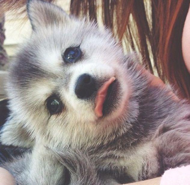 Siberian Husky Dog Breed In India India Pups
