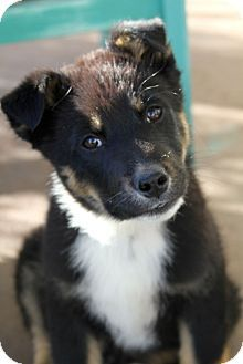 Boulder Co Border Collie Rottweiler Mix Meet Oliver A Puppy