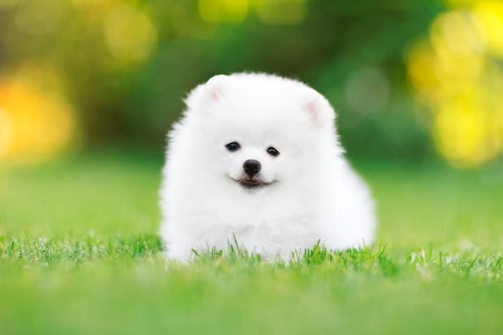 Picture Of A Little White Dog