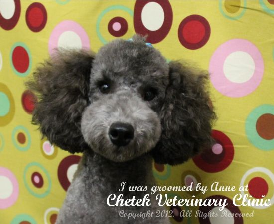Miniature Poodle in a Japanese style by pet groomer Anneliese Vaini at Chetek Veterinary Clinic