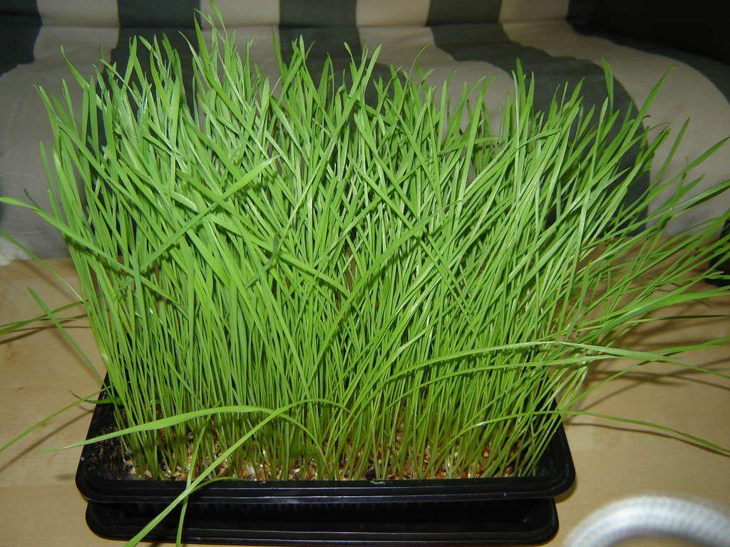 Grow Your Own Wheatgrass Growing wheat grass, Wheat