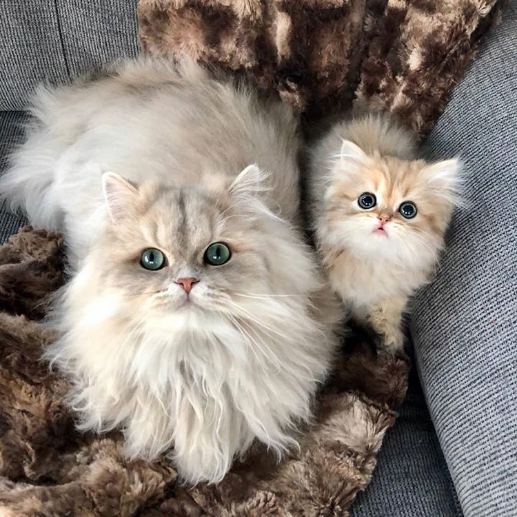"""Persiancat Lovers Community on Instagram: """"Follow 👉 @ persiancatstagram for more!🐹🐹🐹 Credit:DM Tag us in your photos and video #persiancatstagram . . . . #persiancatlife…"""""""