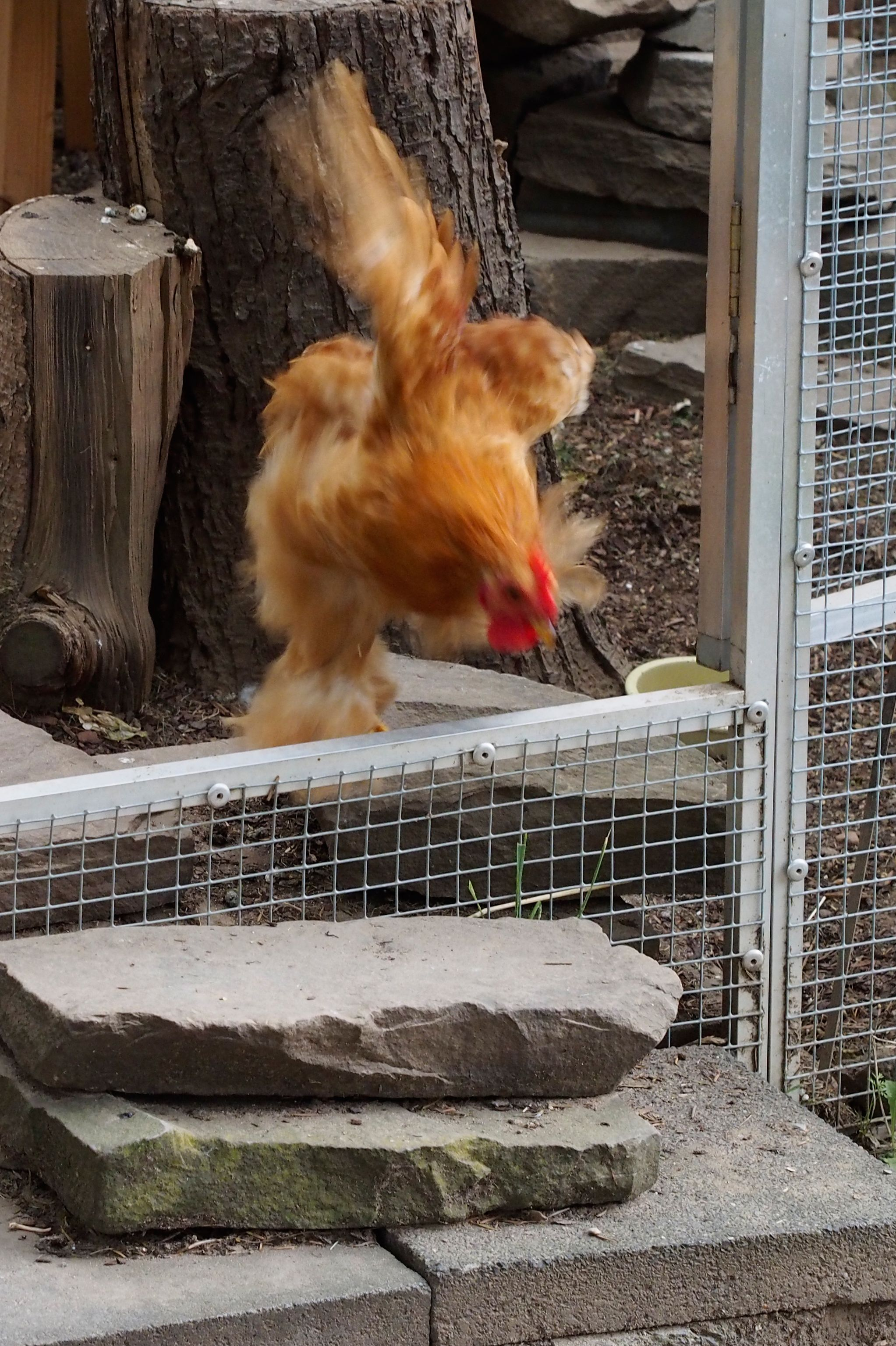 Little rooster taking a fast turn to avoid meeting some bitchy hens.  Oly OM-D E-M5 w/ m.Zuiko 1,8 45 mm.