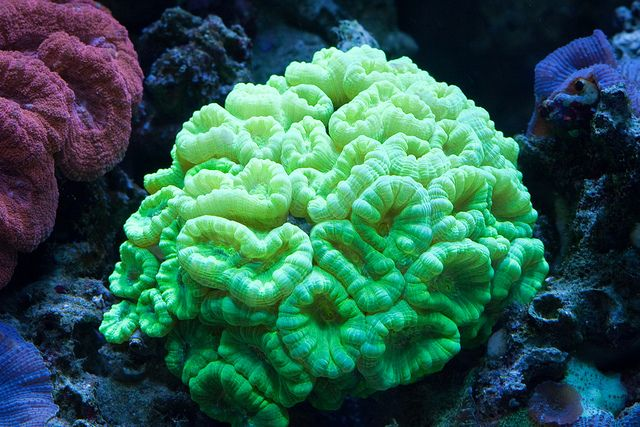 Neon Green Candy Cane Coral Coral Aquarium Coral Reef Tank