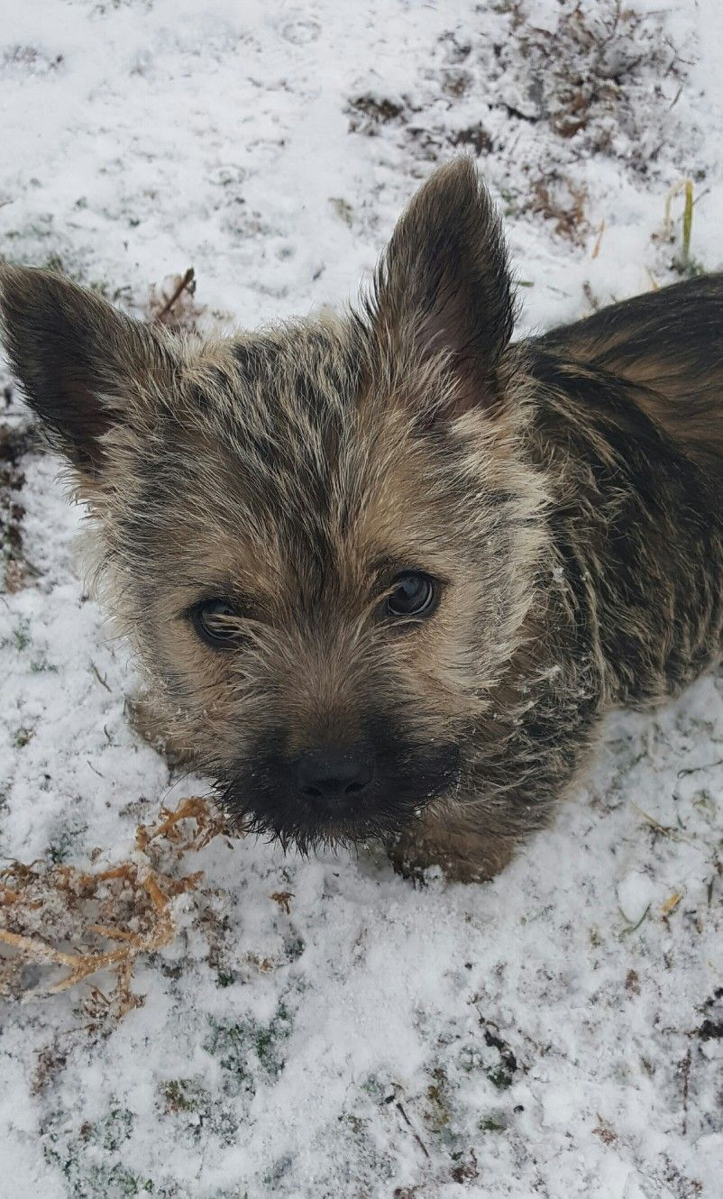 Sweetest Cairn I Have Ever Had Harley Cairn Terrier Puppies