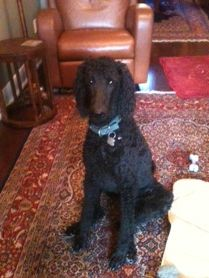 Khalsa Permanent Registered Kennels Ckc Standard Poodle Breeder