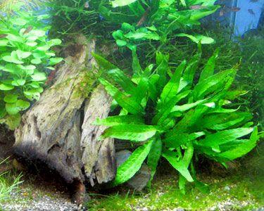 JAVA FERN,  Microsorum pteropus,  easy plant