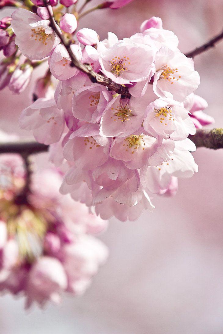 Soft Pink Cherry Flower Beautiful Flowers Sakura Cherry Blossom