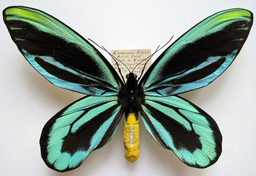 Queen Alexandra's birdwing (Ornithoptera alexandrae) is the largest butterfly in the world. This is a male. It flies high in the forest canopy visiting flowers and feeding on nectar. The species is restricted to 100 square kilomteres of coastal rainforest in SE Papua New Guinea, and therefore is listed as endangered by the IUCN.