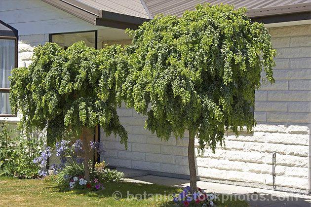 Robinia Pseudoacacia Lace Lady Syn Twisty Baby A Compact Cultivar Of The Black Or Yellow Locust Or False Acacia Back Gardens Garden Design Boho Garden
