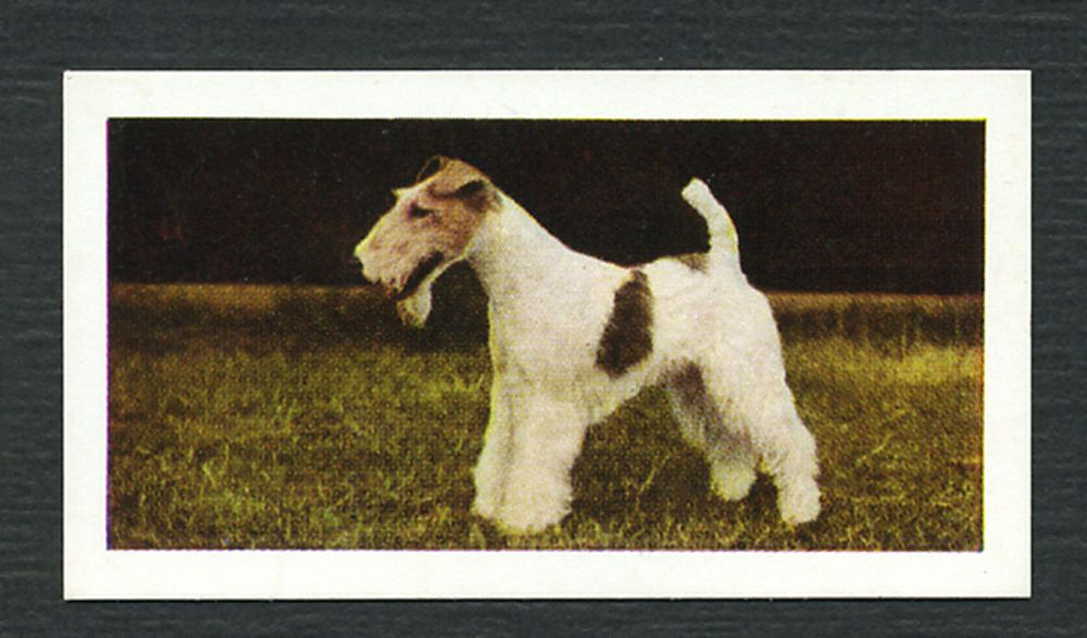 WIRE FOX TERRIER VINTAGE HORNIMANS TEA DOG TRADE CARD FROM 1961