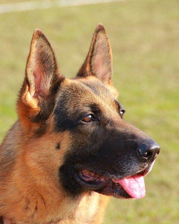 The Guard Dog How To Choose A Breed With Correct Behaviors German Shepherd Dogs Shepherd Dog German Shepherd