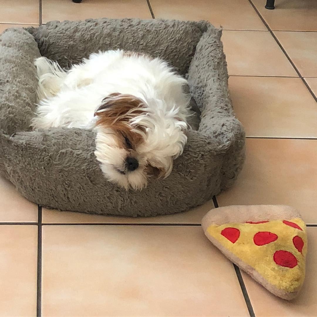 Food coma in full effect puppy dog shihtzu pup cute