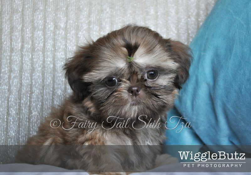 Sprout Fairy Tail Shih Tzu Tiny Teacup Imperial Shihtzu Puppy