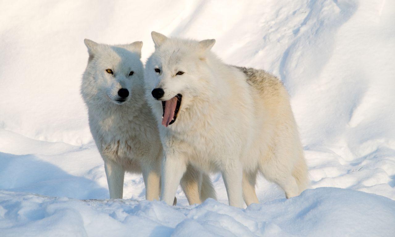 pair of artic wolves-wallpaper (1280×768) | wolflove | pinterest