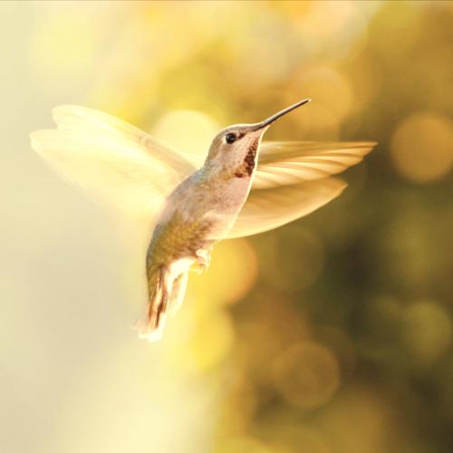 beautiful golden hummingbird