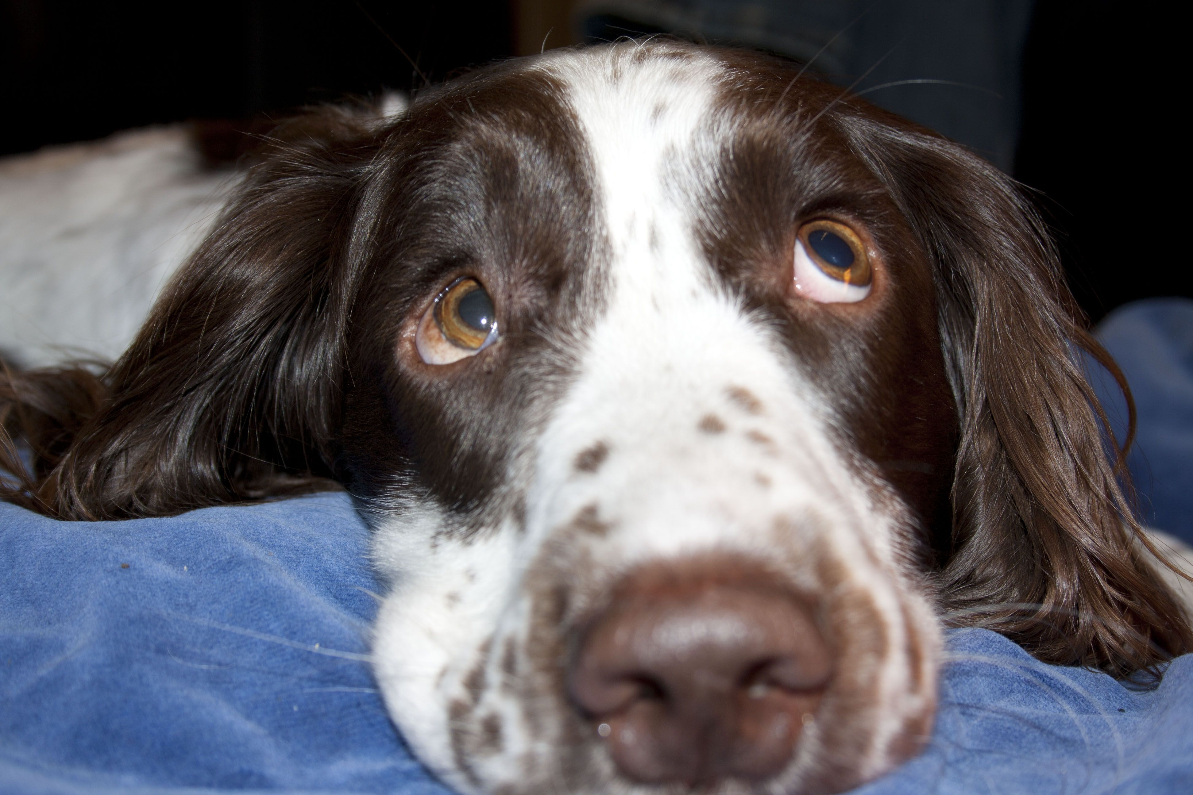 I Know I Can See You Too Cute Puppies English Springer Spaniel Springer Spaniel