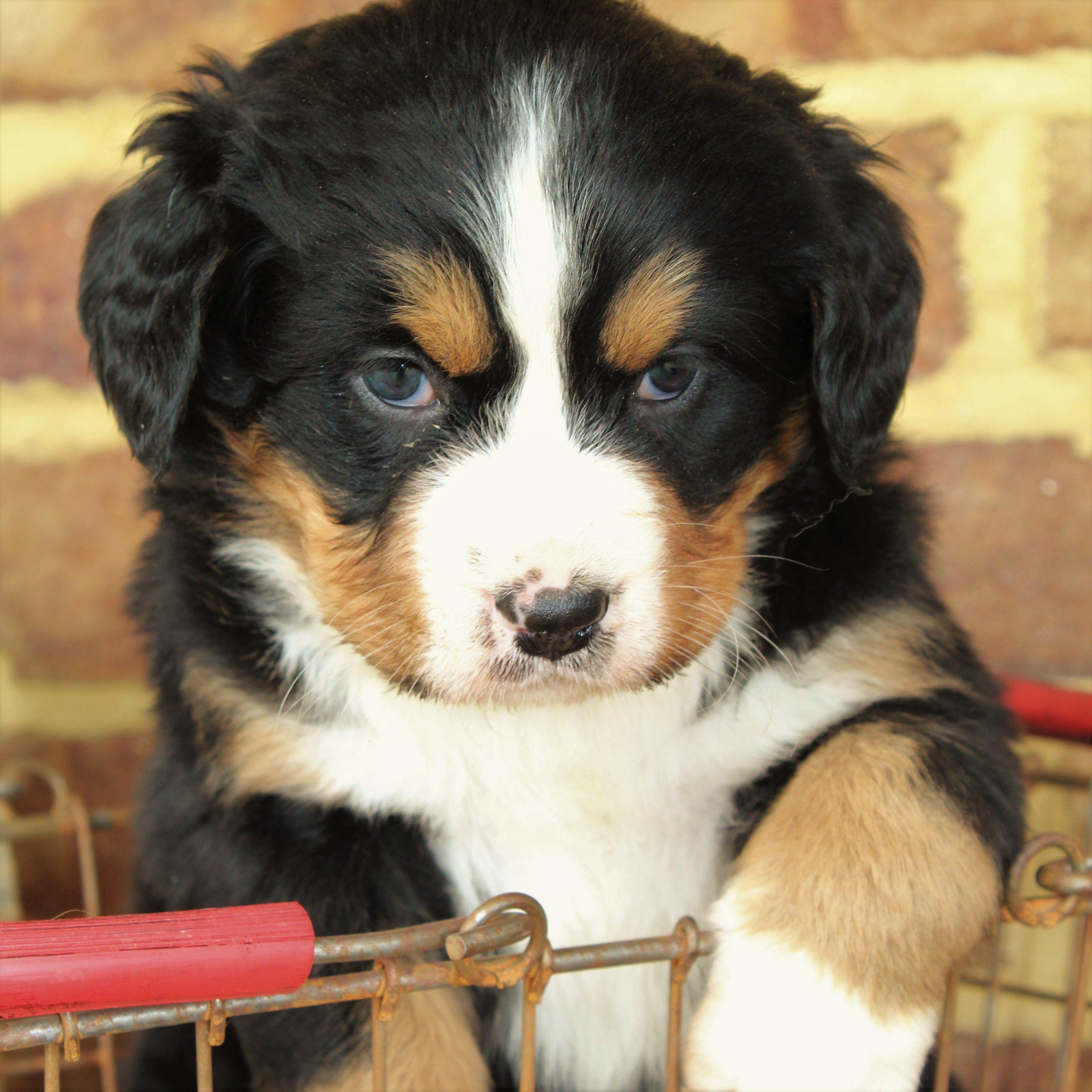 Cuddly Bernesemountaindog Bernese Mountain Dog Puppy Puppies