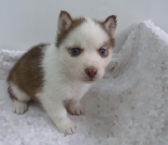 best 25  siberian husky breeders ideas on pinterest