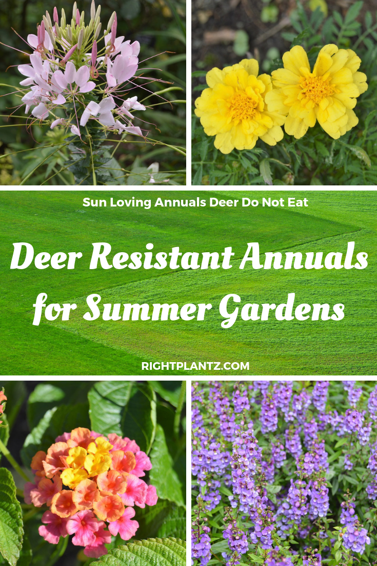 Deer Resistant Annuals For Sunny Gardens I Rightplantz Com Deer Resistant Annuals Deer Resistant Flowers Deer Resistant Garden
