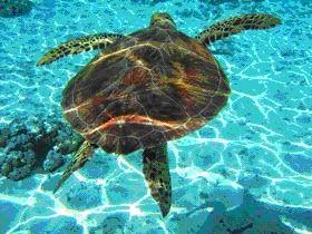 Kareta kareta turtle