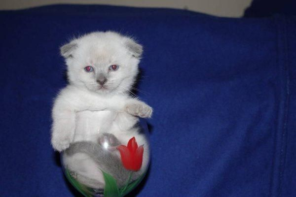 Teacup Munchkin Cats Scottish Fold Cutest Kittens In The World Munchkin Cat Scottish Fold Cat Scottish Fold Munchkin Cat