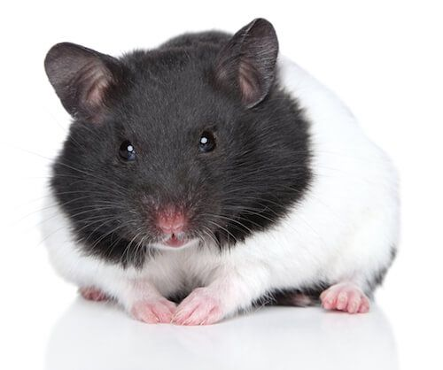 Syrian Hamster The Largest Of All Breeds Have Nicknames Of Golden Long Haired Teddy Bear Panda And Black Bear L Syrian Hamster Cute Hamsters Bear Hamster