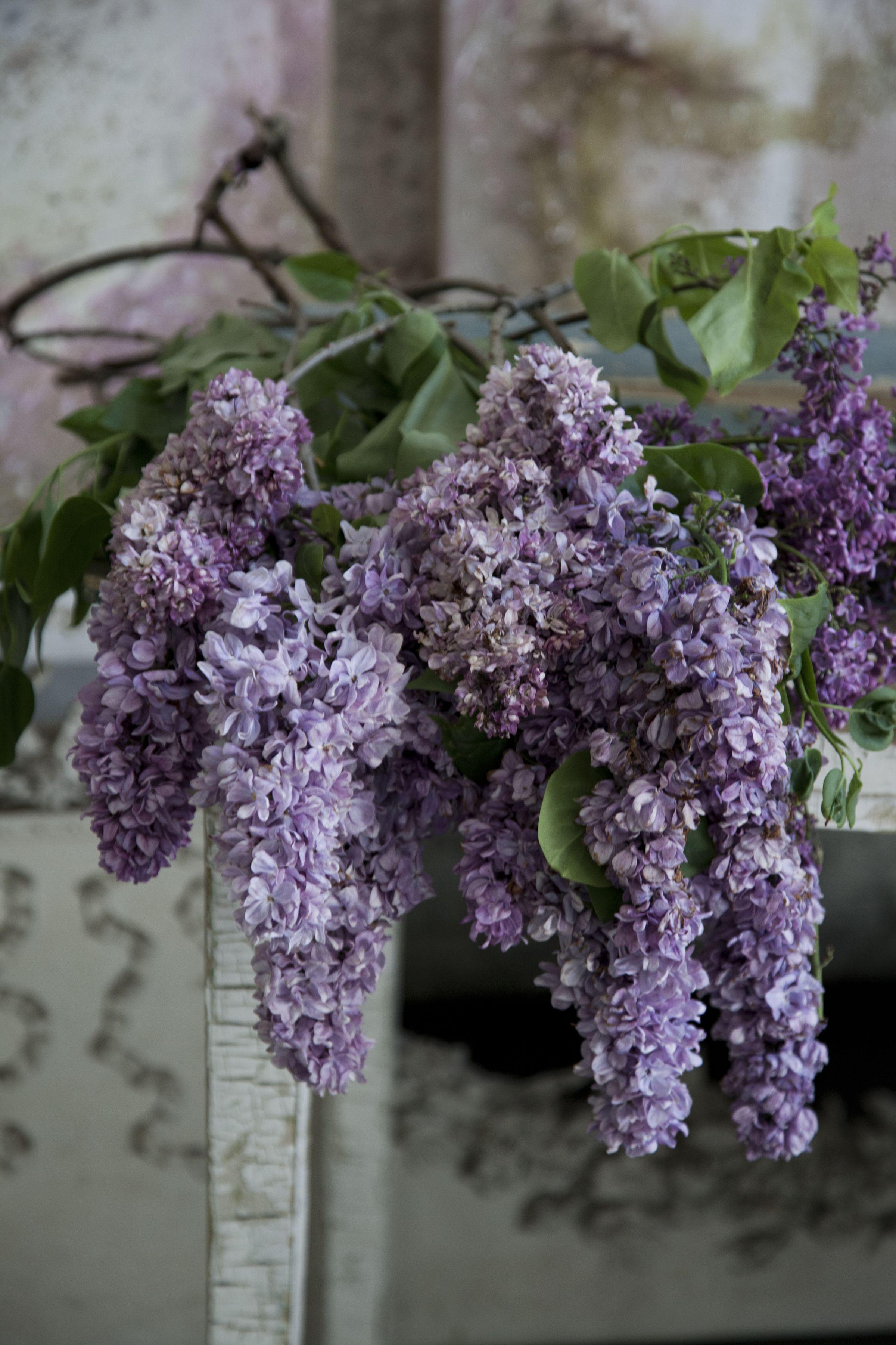 Cascading Lilacs Lilac Gardening Purple Flowers Garden Lilac Flowers