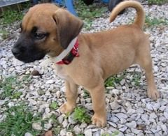 German Sheprador Boxer Dog Breed Boxer Mix Puppies Puppies