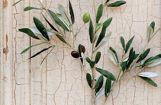 Olive Branch | Olive Tree Branch | Olive Plants