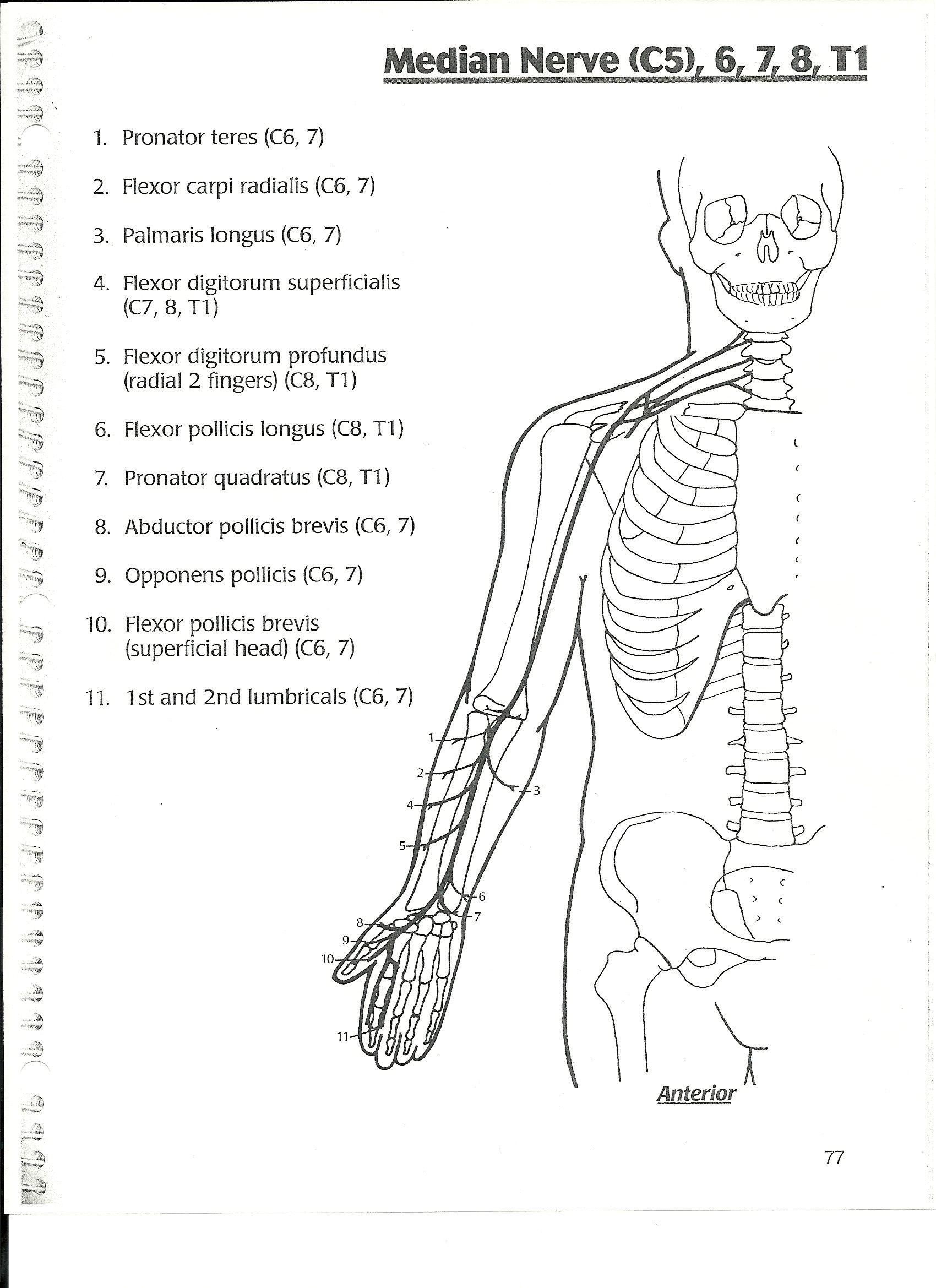 median nerve | Occupational Therapy | Pinterest | Median nerve ...