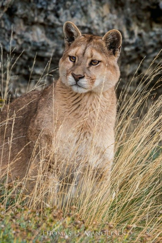 Wild Encounter 15 Month Old Puma By Thomas D Mangelsen Images Of Nature Gallery Rare Cats Animals Wild Wild Cats