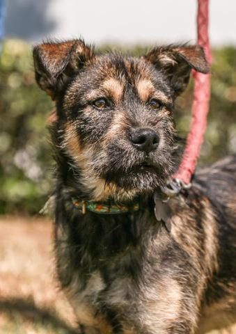 Adopt Titan On Border Terrier Irish Terrier Terrier Mix Dogs