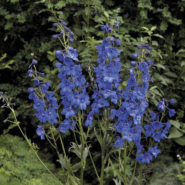 Riddarsporre Blue Donna, fröer sommarblommor - Klostra